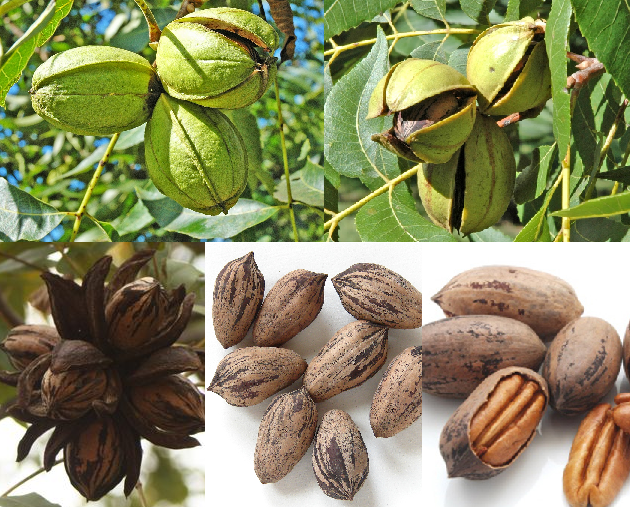 Pecan Stages